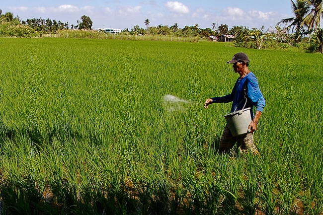 Many farmers of irrigated rice apply excess N during early crop growth, when crop demand for N is small, and then insuffi cient N at later growth stages such as panicle initiation, when crop demand for N is large. (Photo: IRRI)