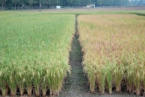 Direct-Seeded rice (right) matures 3–4 weeks earlier than transplanted rice (left), and so is more likely to avoid damaging early-season drought and increase farmers' chances of successfully growing a subsequent nonrice crop. (Photo: Adam Barclay)