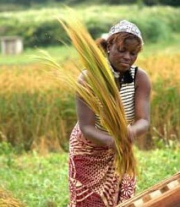 A woman threshes rice in Benin. (Photo: R. Raman)