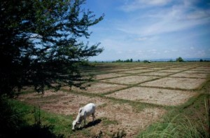 A lack of rain in the northern Philippines in July and August 2007 meant that many farmers' rice fields—such as these in Isabela Province—remained empty. (Photo: Ariel Javellana)