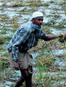 Nasiruddin Khan harvests what is left of his rice crop after it was devastated by Cyclone Sidr in November 2007. (Photo: Adam Barclay)