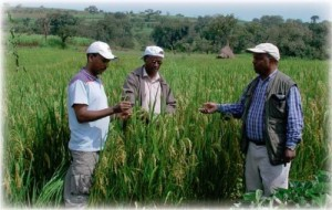 The authors (from left to right, Dr. Zenna, Mr. Gebre-Tsadik, and Dr. Berhe) inspect rice plants in Chewaka, one of the best riceproducing areas in Ethiopia. (Photo: Birhane Gobezai)