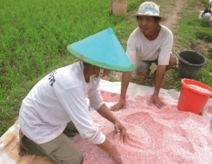 FARMERS IN INDONESIA mixing fertilizer (potassium chloride and urea) for application to rice at panicle-initiation stage. (Photo: Monina Escalada)
