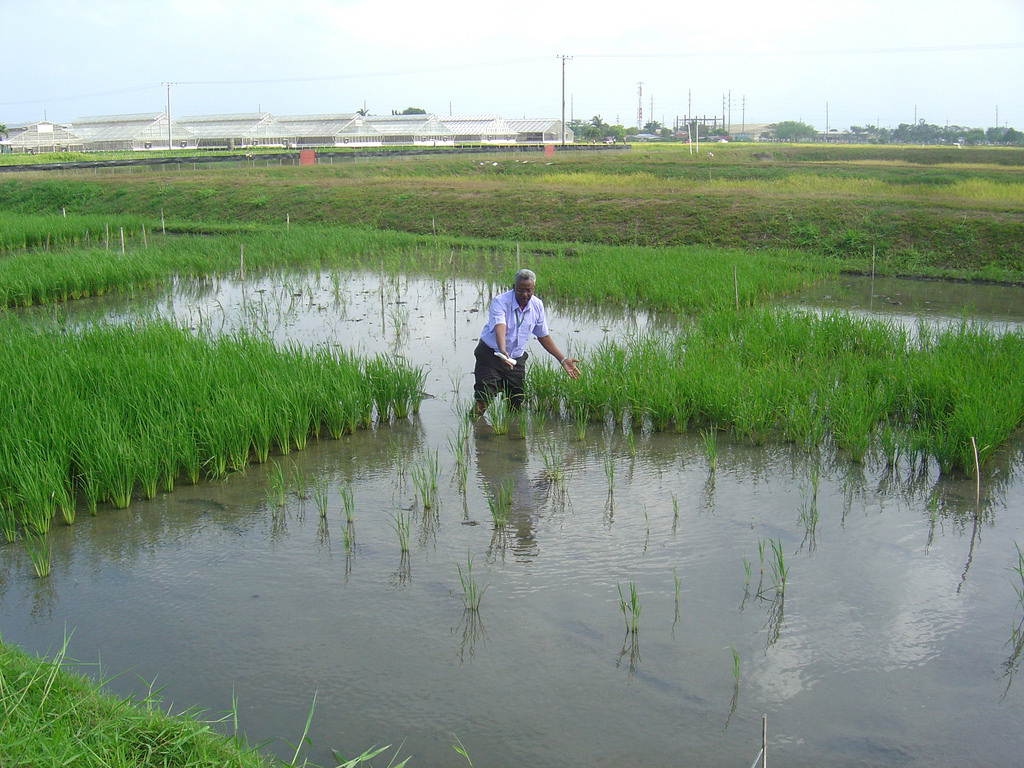 """Even after 17 days of submergence in IRRI research plots, Sub1 rice lines show their """"waterproof"""" trait as they are still standing to the left, right, and further behind IRRI plant physiologist Abdel Ismail. (Photo: Gene Hettel)"""