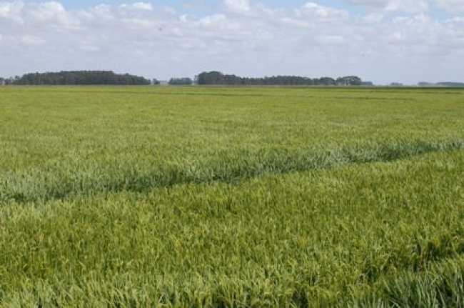 During normal years, average yields of irrigated rice in the Uruguay River basin are above 8 tons per hectare. (Photo: Edison Bianchi-Inia)