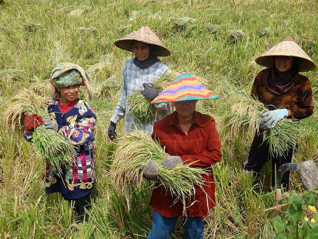 After a successful field trial, the women in Bone, South Sulawesi, proudly carry the season's bountiful rice harvest. (Photo: Donna Casimero)