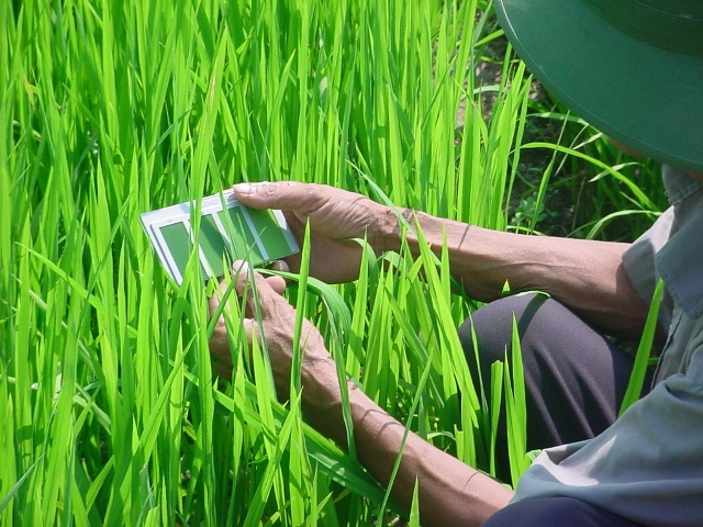 A farmer from Vinh Phuc Province, Vietnam, uses the leaf color chart to check the nitrogen needs of his rice crop. (Photo: T.T. Son)