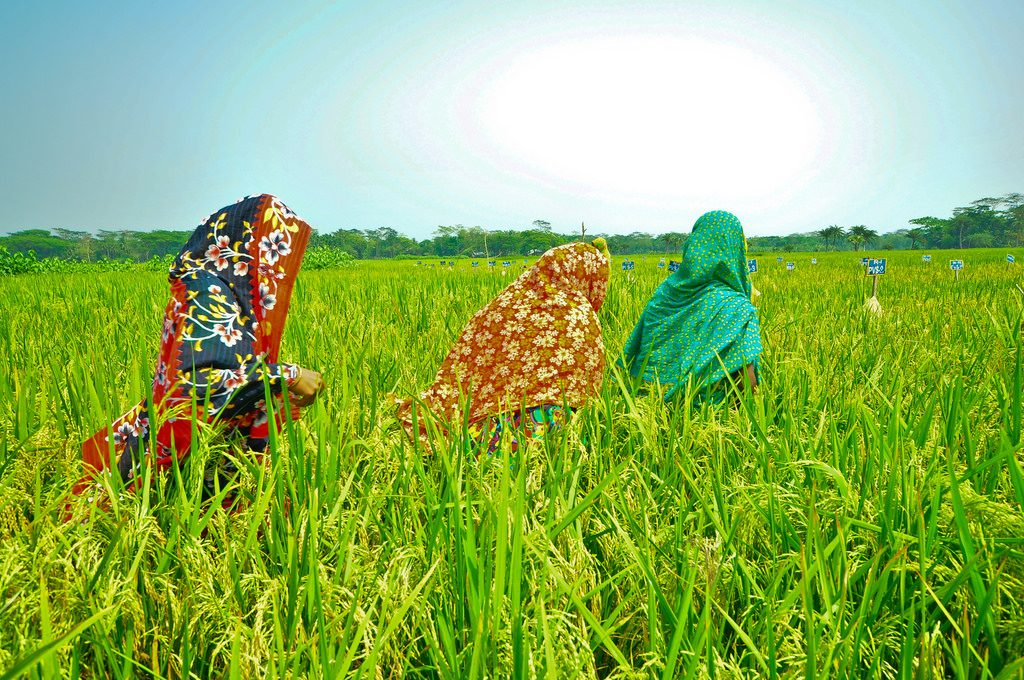 Women rice farmers in Bangladesh (Photo: IRRI)