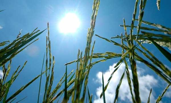rice under the heat of the sun. (Photo: IRRI)