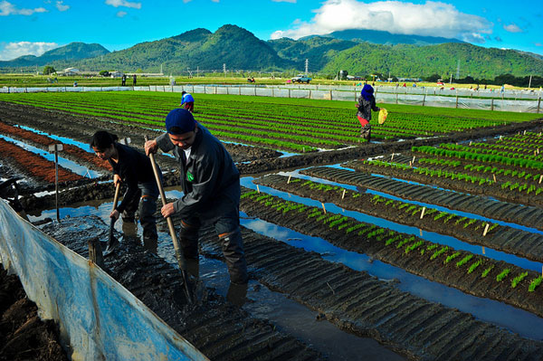 IRRI scientists getting down and dirty for Rice Survivor. Photo: Isagani Serrano