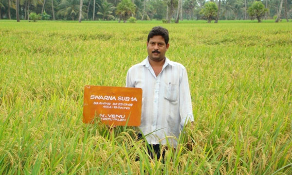 SWARNA SUB1, a  submergence-tolerant variety, has been adopted by many farmers in countries such as India and Bangladesh. (Photo: STRASA-India)