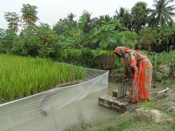 Rice field in southwestern Bangladesh. (Photo: IRRI)