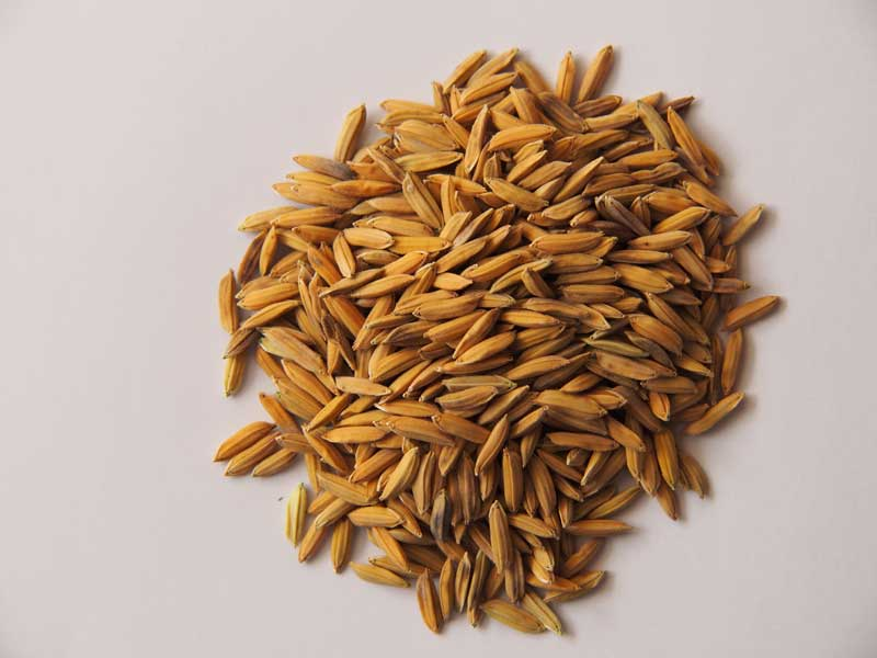 COLD-TOLERANT rice variety nominated as ARICA10 by Africa Rice Breeding Task Force