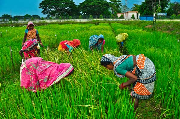 Rice field in India.