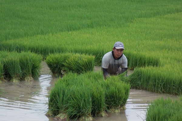 IMPROVED RICE lines ready for transplanting in Peru.  (Photo: CIAT)