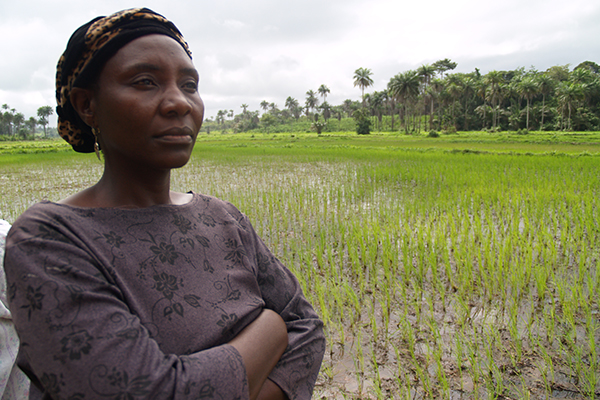 RICE IS the most important staple in Sierra Leone, and Liberia, however, the Ebola crisis threatens to undo the progress made in improving domestic production. (R RAMAN, AFRICARICE)
