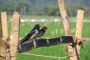 BARN SWALLOWS rest on a bamboo stake that supports string bean and bitter gourd growing on a rice bund in an ecologically engineered field. (Photo: Finbarr Horgan)