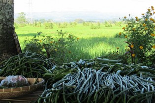 VEGETABLES PILED up on the table were produced in the high-diversity vegetation patches that can be seen interspersed among the ricefields in the background. The chemical-free vegetables and rice are highly sought after in local markets. (Photo: Finbarr Horgan)