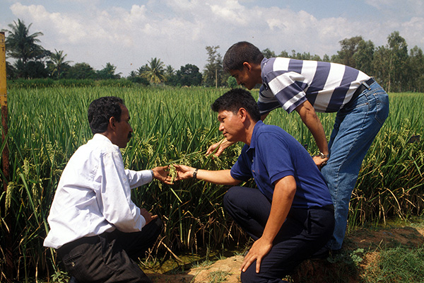 SINCE 1989 when ICAR implemented a national program on hybrid rice development, IRRI researchers have contributed much to improving this technology, which can greatly increase India's rice production and farmers' income. (Photo: Gene Hettel, IRRI)