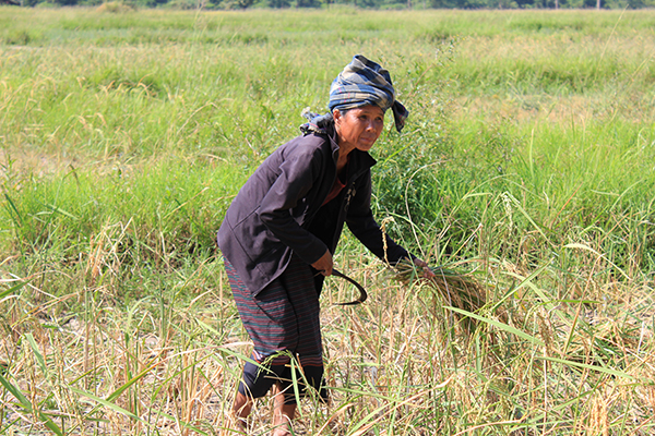 A weather-rice-nutrient decision support app is helping farmers ensure yield in rainfed areas. (Photo: K. Hayashi)