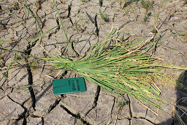 A CROPPING calendar based on accurate weather information could mean better rice yields for farmers. (Photo: K. Hayashi)