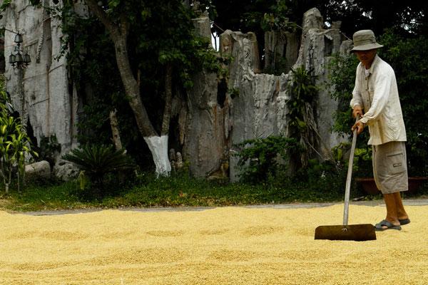 Vietnamese farmer drying rice under the sun. (Photo: IRRI)