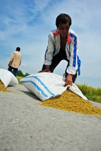 Filipino rice farmers have higher average crop yields than their counterparts in some top rice-exporting countries. (Photo: IRRI)