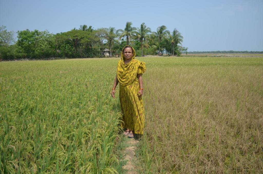A farmer stands in the middle of a field showing salt-tolerant rice variety (left) and damaged non-salt-tolerant rice variety (right).