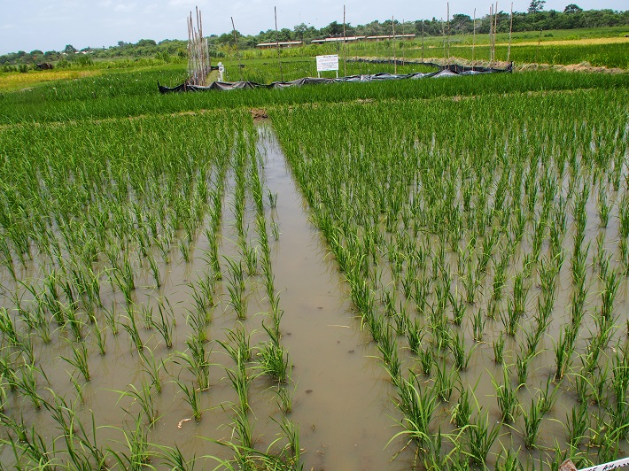 Agronomy experimental field in M'bé. The partnership between AfricaRice and Côte d'Ivoire dates back to 1988, when AfricaRice headquarters was established in M'bé, some 350 km north of Abidjan. (Photo: R.Raman/AfricaRice)