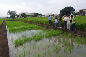 Seeds of the IR64 rice variety with the AG1 gene could grow even when underwater (see third from right row inside flooded plot) as seen in 2013 field trials. (Photo: Michael Thomson)