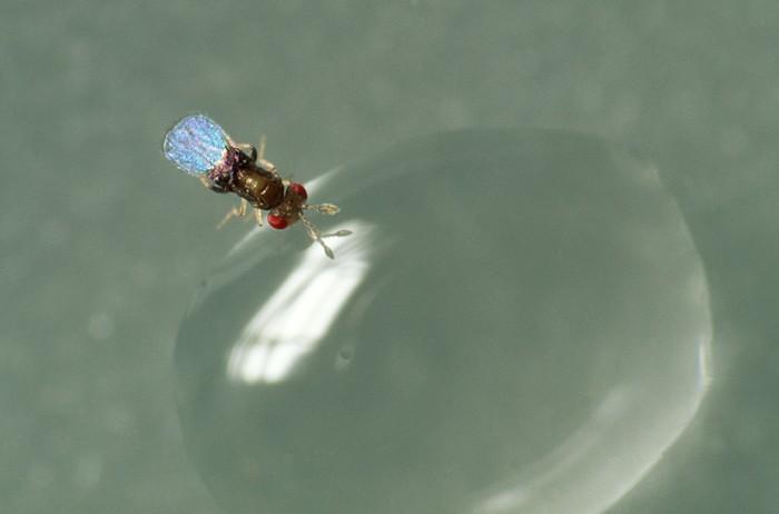 Tricho an Wassertropfen (1)