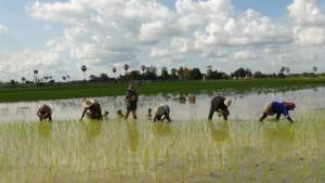 Rice transplanting in Kampong Speu province.