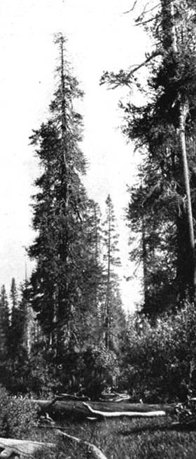 8. Lodgepole pine_CraterLake