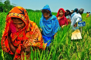 Women are now involved in participatory varietal selection. (Photo: GRiSP)
