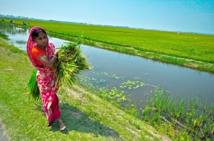 Swarna-Sub1, a flood-tolerant rice variety, helps ease the burden of women farmers.(Photo: GRiSP)