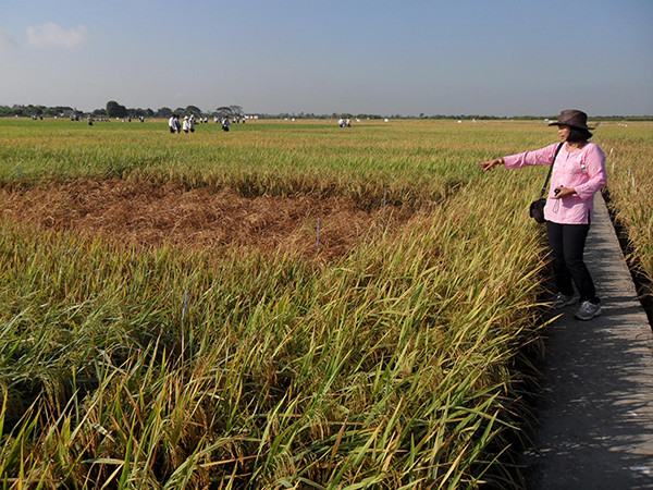 Dr. N. Lang, head of the Breeding Division, Cuu Long Delta Rice Research Institute (CLRRI) in Vietnam, points at hopper burn— a patch of dead, dried out rice plants in the field. (Photo: K.K. Jena)