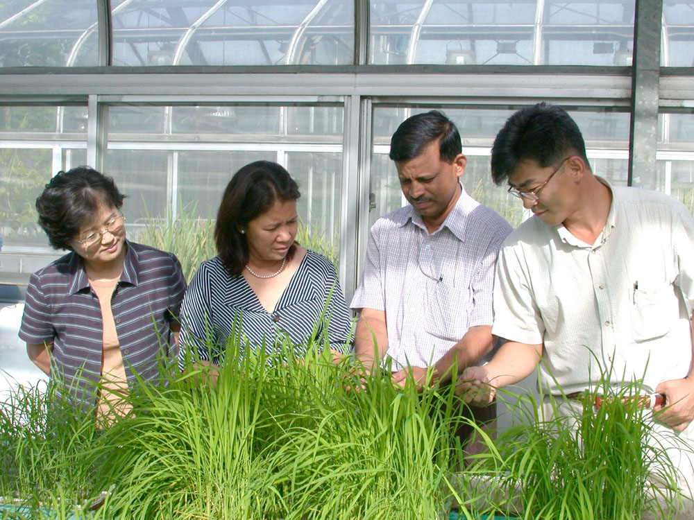 EXAMINING THE REACTION to blast of newly developed resistant rice lines are (from left) Korean National Institute of Crop Science rice pathologist S.S. Han, IRRI plant pathologist C. Vera Cruz, IRRI plant breeder K.K. Jena, and IRRI–Korea Offi ce scientist J.U. Jeung. A rice leaf (top) exhibits dreaded leaf blast symptoms. (Photo: IRRI-Korea Office)