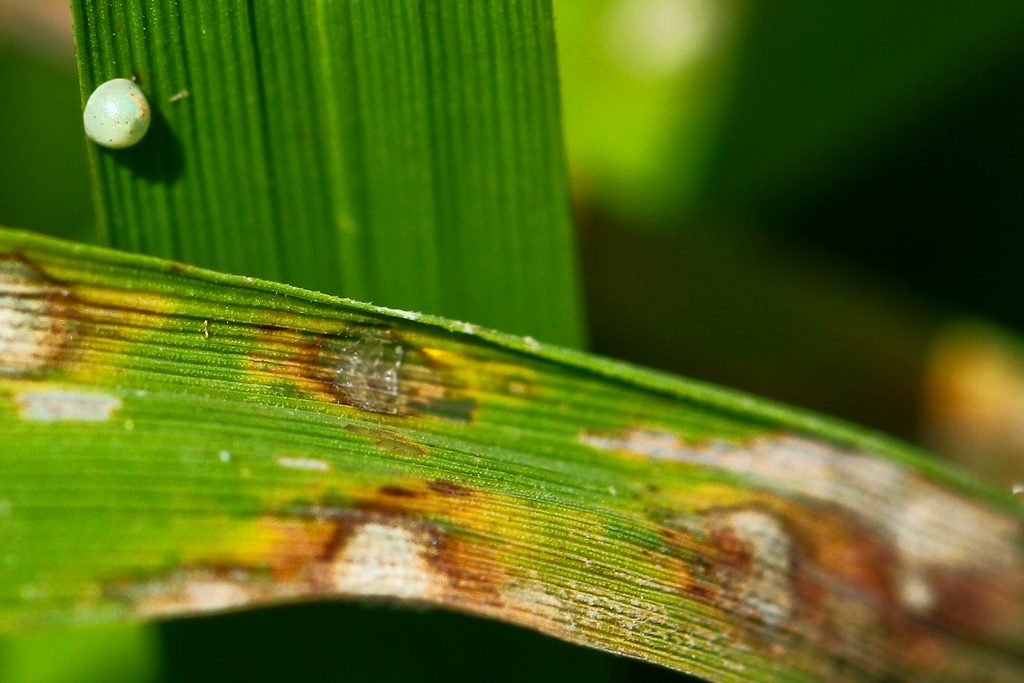 The rice fungal disease known as blast is a scourge to farmers across the rice-growing world.