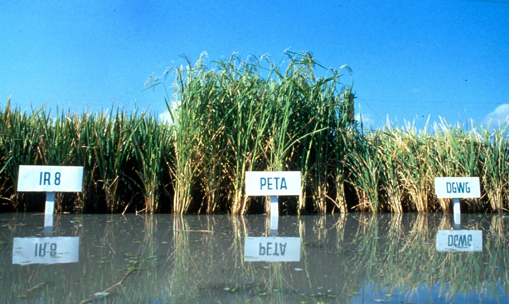 The DGWG x Peta cross in later generations ultimately resulted in IR8. (Photo: IRRI)