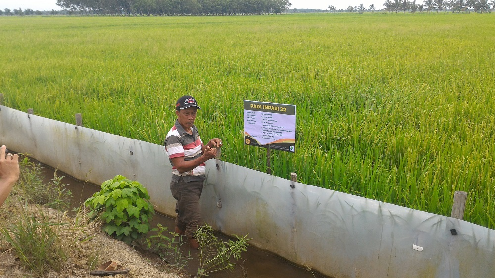 Pak Subarjo proudly shares his field, which harvested its third cropping in January 2017. (Photo by Budi Raharjo, AIAT, Indonesia)