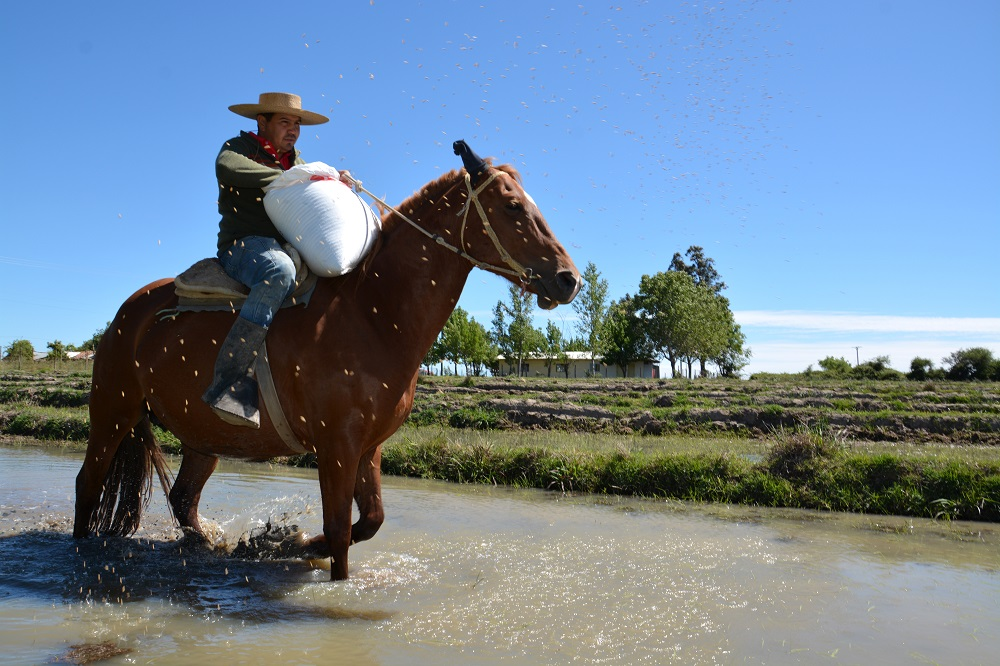 The use of horses for rice production is a common practice among Chilean smallholder farmers. José Moreno helps with the sowing activities of the Membrillo farm, in the Maule region. (Photo: CIAT)