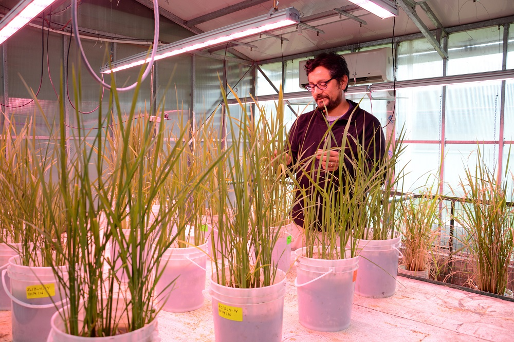 INIA-QUILAMAPU hosts the national Rice Breeding Program, which has released more than ten rice varieties with great impact on Chilean rice producers. (Photo: CIAT)