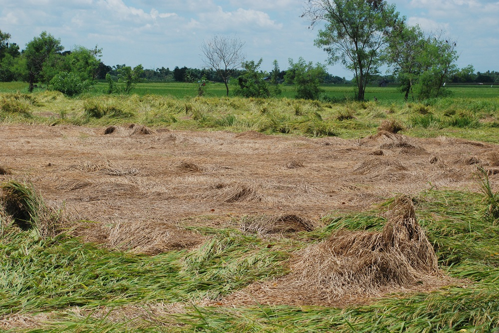 Hopperburn, where rice fields appear to have been scorched by fire, is one of the signs of BPH infestation. (Photo: IRRI)