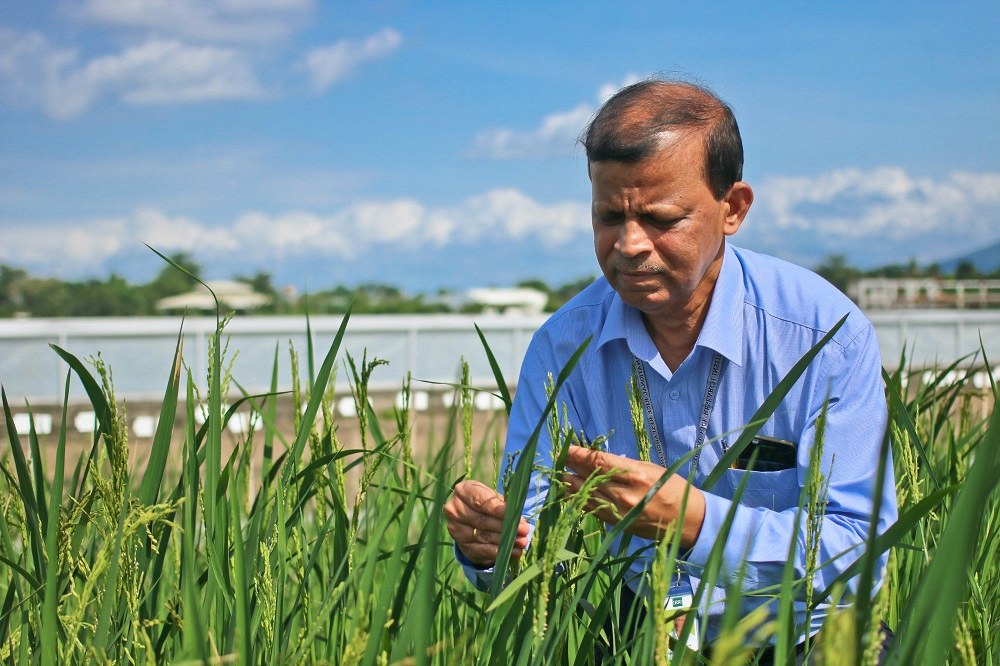 Through gene cloning, Dr. Jena works to identify the gene that enables a wild rice to fight off BPH and transfer the genes into cultivated rice varieties. (Photo by isagani Serrano/IRRI)