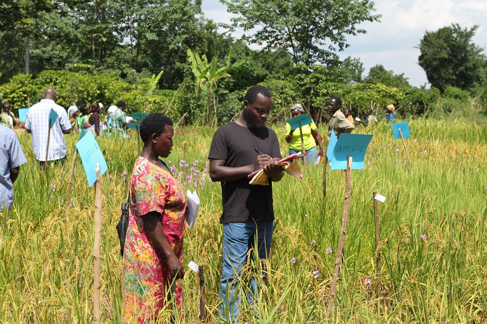 RICE FARMERS select their preferred Strigaresistant varieties during a participatory varietal selection activity in Uganda conducted by AfricaRice, University of Sheffield, Makerere University, and Africa2000. (Photo by Dr. Rodenburg, AfricaRice.)