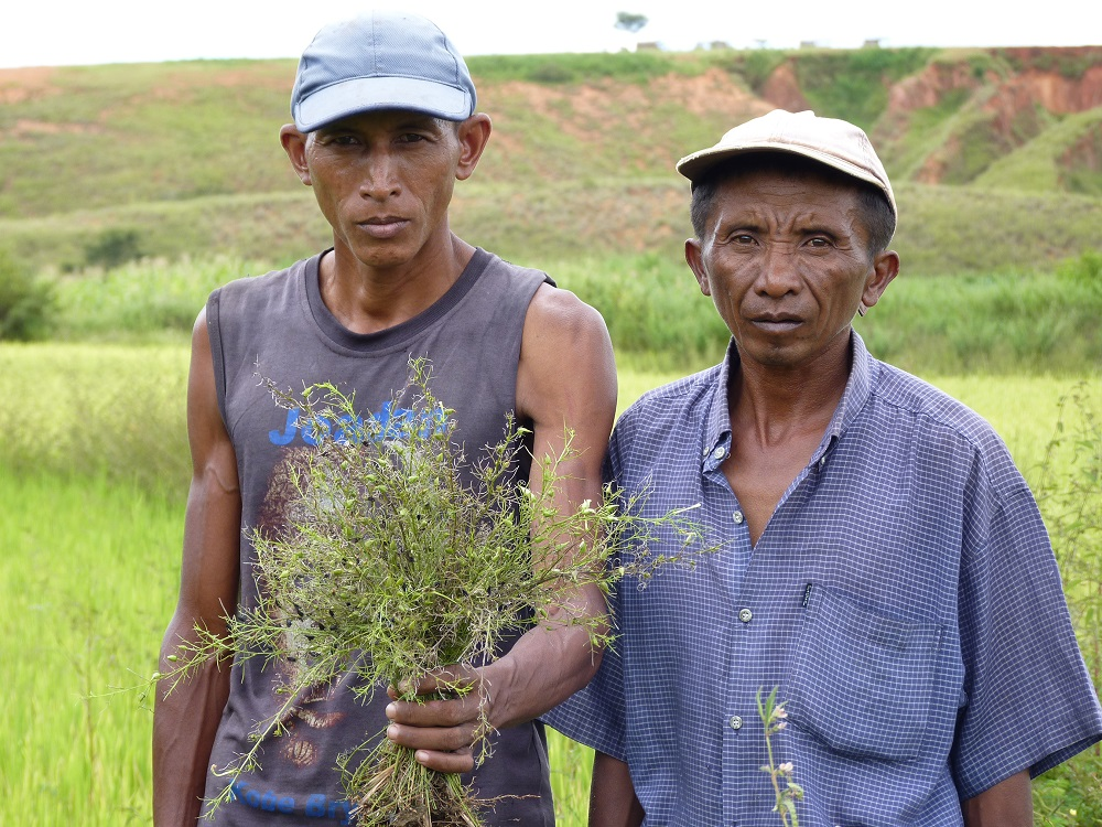 TWO RICE farmers show Rhamphicarpa, a parasitic weed that has infested their rice fields in Madagascar. (Photo by Mamadaou Cissoko, AfricaRice.)