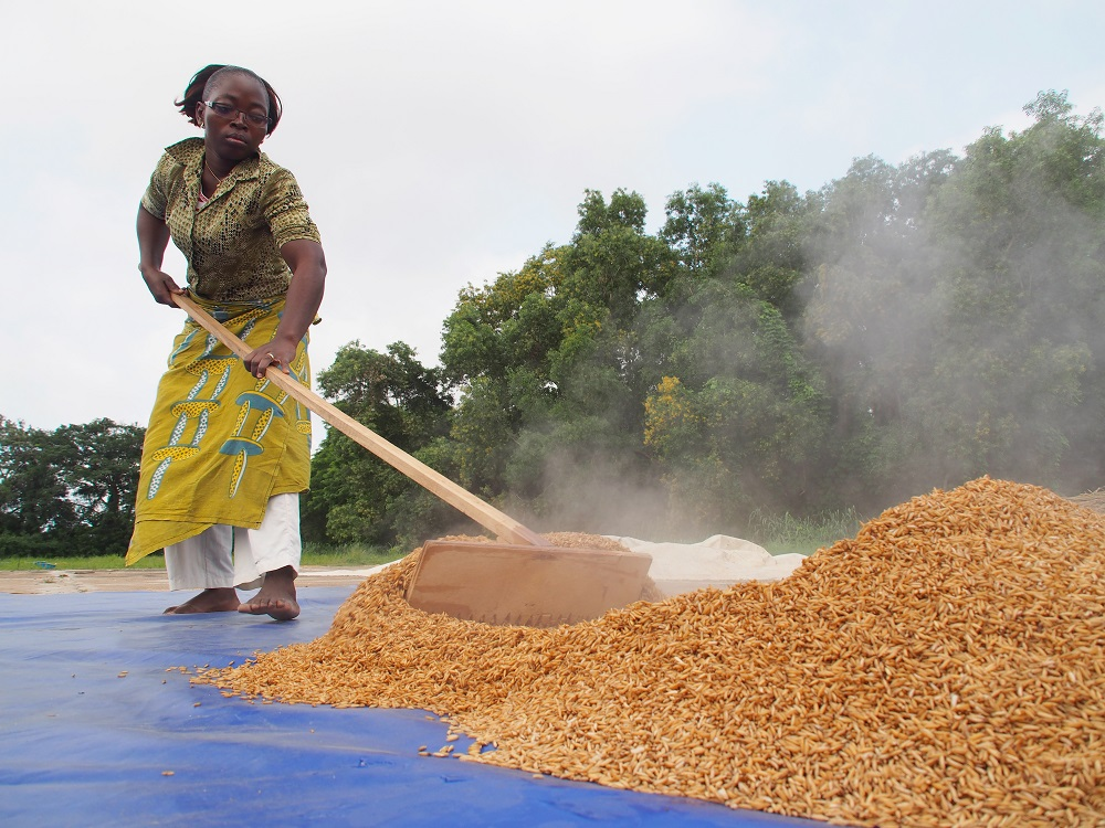 "Parboiling, a task largely done by women in parts of Africa involves partially boiling rice in the husk and drying it well before it is milled. The photo is the first runner-up in A rice farmer's life, a competition celebrating the 50th year of IR8. The ""miracle rice"" was developed by IRRI scientists in the early 1960s is believed to have saved many countries in Asia from famine."