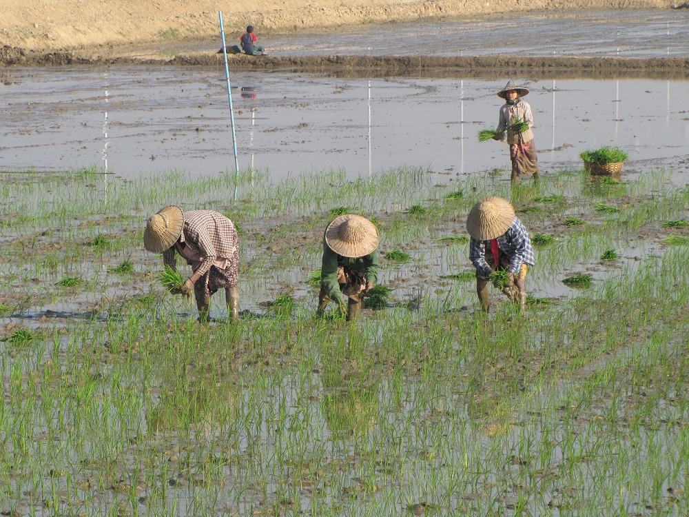 SMALLHOLDER FARMERS in lower Myanmar have struggled with low yield and income from rice farming. ACIAR's MYRice program has brought these farmers together to become partners in agricultural development. (Photo: Grant Singleton, IRRI)