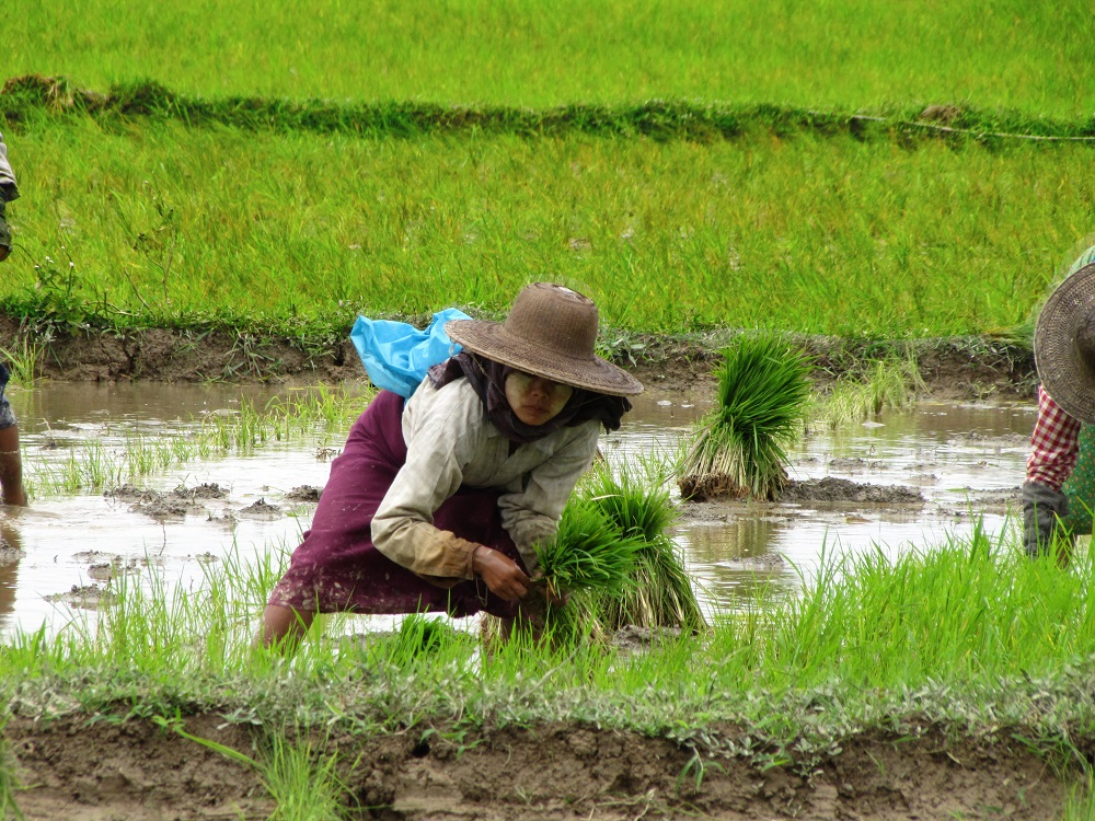 In Myanmar, a partnership between researchers and smallholder farmers is giving equal opportunity and increased capacity to both men and women. (Photo: Grant Singleton, IRRI)