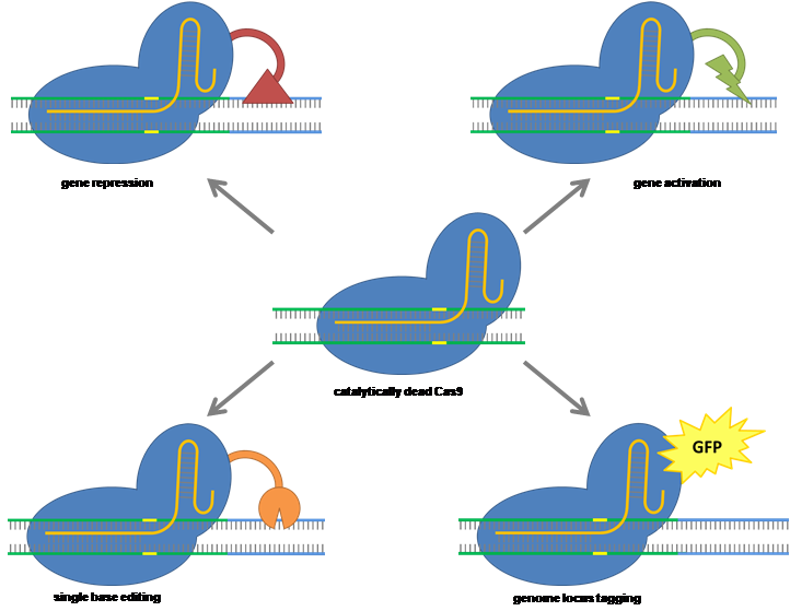 Diverse applications of CRISPR-Cas9 (Figure: The C4 Rice Center)